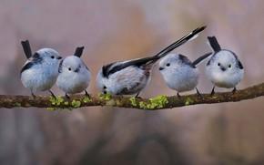 Картинка птица, стая, ветка, хвост, длиннохвостая синица