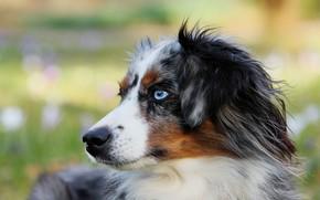 Картинка собака, Щенок, голубые глаза