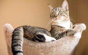 Картинка кошка, кот, взгляд, поза, уют, дом, серый, фон, стена, лежит, мех, полосатый, котэ, кисточки, лежанка, …