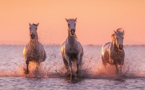 Картинка вода, брызги, лошади, белые лошади
