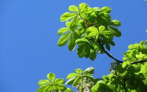 Картинка небо, листья, зелёные, каштан, весна 2018, Mamala ©