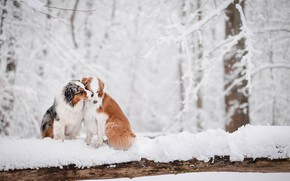 Картинка зима, лес, снег, любовь, парочка, две собаки, Австралийская овчарка, Аусси