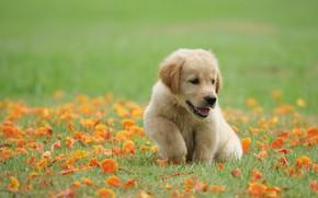 Картинка трава, цветы, парк, милый, щенок, golden, лужайка, puppy, dog, park, ретривер, cute, retriever