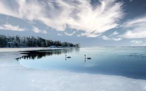 Картинка озеро, берег, лебеди