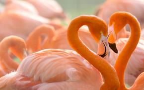 Обои любовь, птицы, фон, сердце, портрет, пара, влюбленные, фламинго, дикая природа, яркое оперение, розовый фламинго, шеи, ...