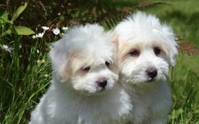 Картинка собаки, лето, трава, листья, природа, поляна, щенки, щенок, белые, парочка, два, милашки