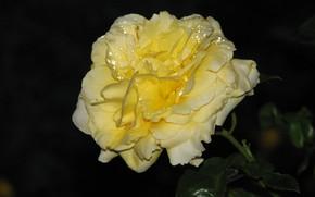 Картинка ночь, роса, Роза, желтая