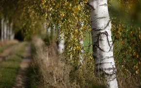 Картинка осень, природа, берёза
