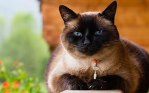 Картинка кошка, кот, морда, природа, фон, портрет, ошейник, голубые глаза, сиамский, сиамская