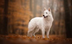 Картинка осень, собака, боке, Белая швейцарская овчарка