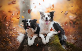 Обои Бордер-колли, пень, парочка, листья, настроение, две собаки, радость, осень