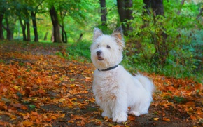 Картинка Осень, Собачка, Парк, Fall, Листва, Park, Autumn, Листопад, Leaves, Вест-хайленд-уайт-терьер