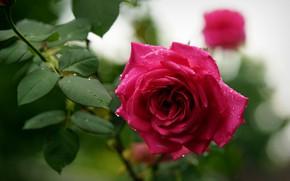 Картинка капли, роза, весна, бутон, цветение