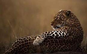 Картинка взгляд, поза, животное, хищник, леопард, дикая кошка