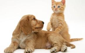 Картинка котенок, щенок, рыжие, спаниель