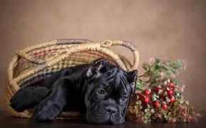 Картинка ягоды, фон, корзина, черный, собака, пес