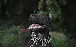 Обои язык, глаза, взгляд, улыбка, елка, ель, собака, черная, терьер, черная собака, стаффордширский терьер, стаф, стаффордширский, ...