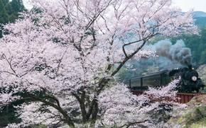 Картинка весна, сакура, дервья, фотограф Comyu Matsuoka