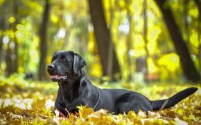 Картинка осень, листья, природа, животное, собака, пес