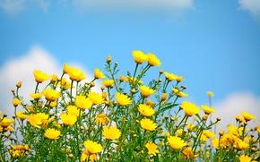 Обои весна, небо, солнце, поле, цветы полевые, yellow, spring, flowers