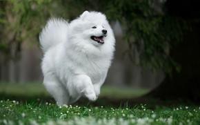 Картинка радость, природа, настроение, собака, прогулка, Самоед, Самоедская лайка