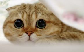 Обои Шотландская вислоухая кошка, мордочка, взгляд, кошка