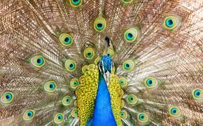 Обои птица, павлин, хвост, перья