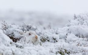 Обои зима, природа, снег, кролик