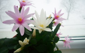 Картинка цветение, март, Шлюмбергера, Рождественник
