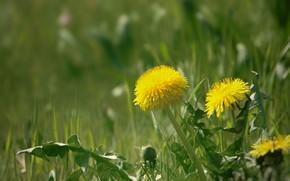 Обои одуванчики, трава, весна