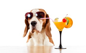 Картинка стол, бокал, апельсин, юмор, очки, коктейль, белый фон, лайм, трубочка, вишенка, Бассет хаунд