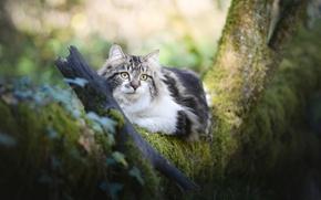 Обои дерево, пушистая, взгляд, кошка