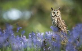 Картинка цветы, сова, птица, колокольчики, боке, Ушастая сова