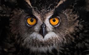 Картинка взгляд, сова, птица, перья, глазища, Филин
