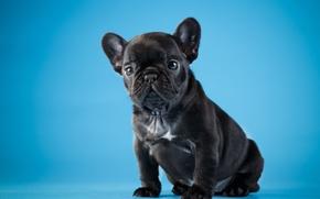 Картинка черный, милый, щенок, французский бульдог