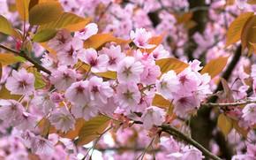 Картинка ветки, вишня, весна, цветение, цветки, цветущая вишня