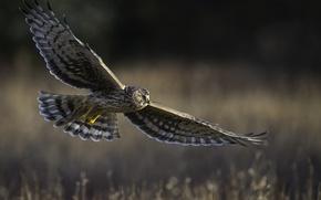 Картинка полёт, хищная птица, Hen harrier, полевой лунь