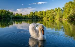 Картинка деревья, пейзаж, природа, озеро, лебедь