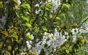 Картинка цветы, солнечно, черешня, апрель, весна 2018, Mamala ©