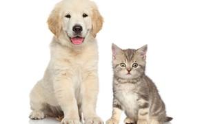 Картинка котенок, щенок, малыши, друзья, puppy, ретривер, kittens