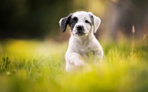 Картинка щенок, прогулка, боке, пёсик, Кокер-спаниель