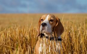 Картинка собака, взгляд, портрет, поле, Бигль, стерня, морда