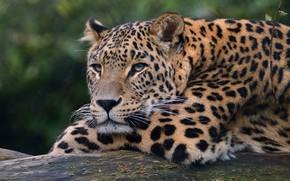 Картинка взгляд, морда, кошки, фон, лапы, леопард, лежит, дикие кошки, дикая природа
