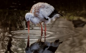 Обои птица, аист, лужа