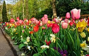 Картинка листья, деревья, цветы, парк, яркие, красота, весна, сад, тюльпаны, бутоны, клумба, разноцветные, цветение, нарциссы, весенние