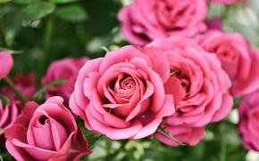 Картинка Боке, Bokeh, Pink roses, Розовые розы