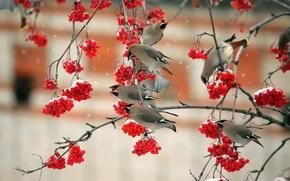 Картинка птицы, ветки, красная, рябина, свиристели, свристель