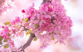 Картинка весна, розовые цветочки, цветение яблони