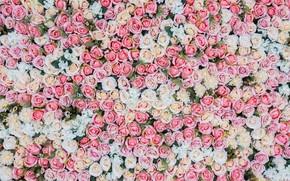 Обои цветы, фон, розы, розовые, бутоны, pink, flowers, roses, bud