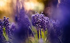 Картинка фиолетовый, свет, цветы, природа, фон, весна, размытость, боке, мускари, композиция, гиацинты, мышиный гиацинт, мышиные